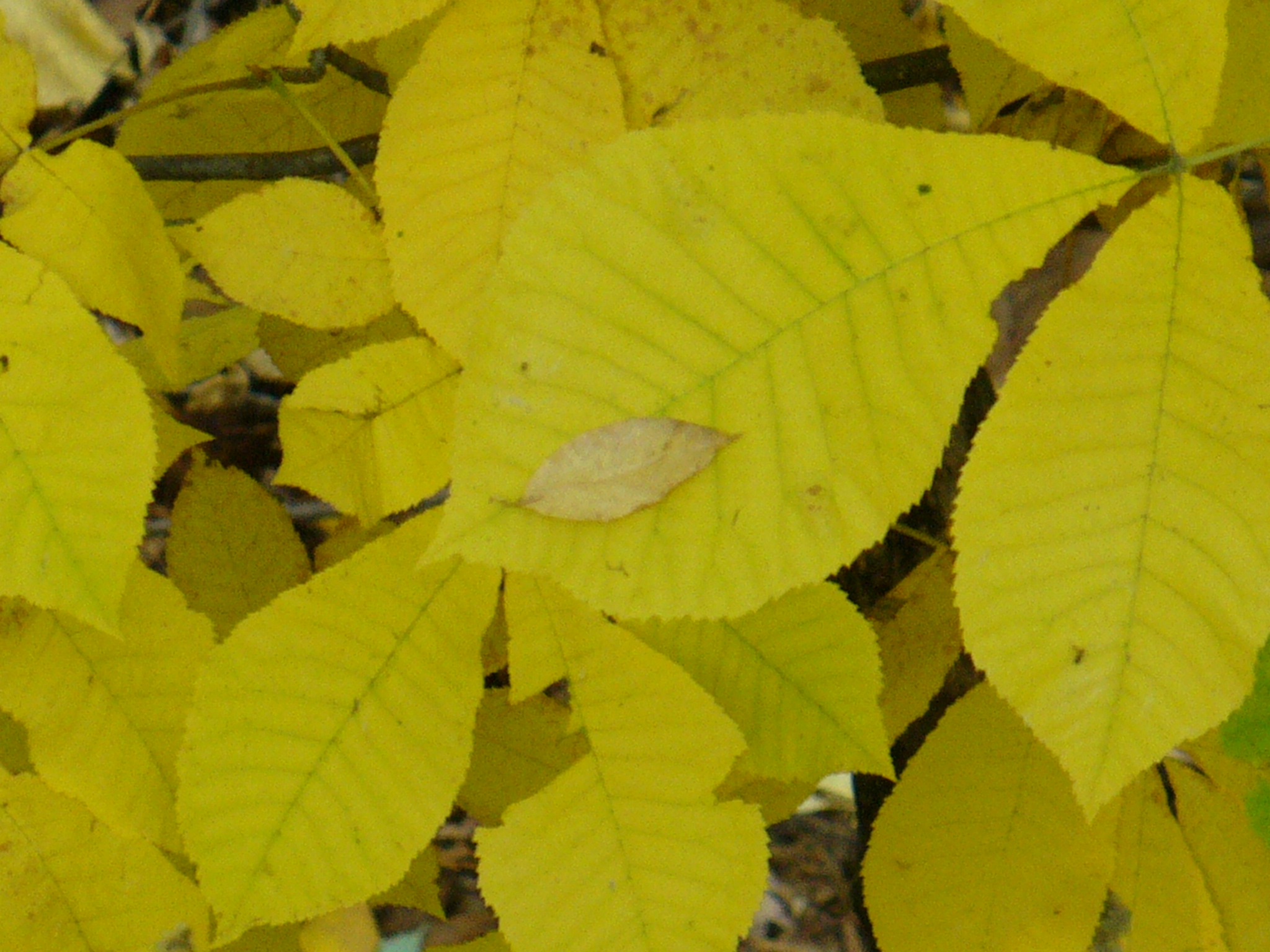 Hickory leaves