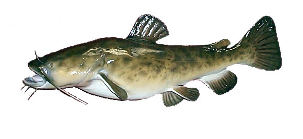 flathead catfish drawings Quotes