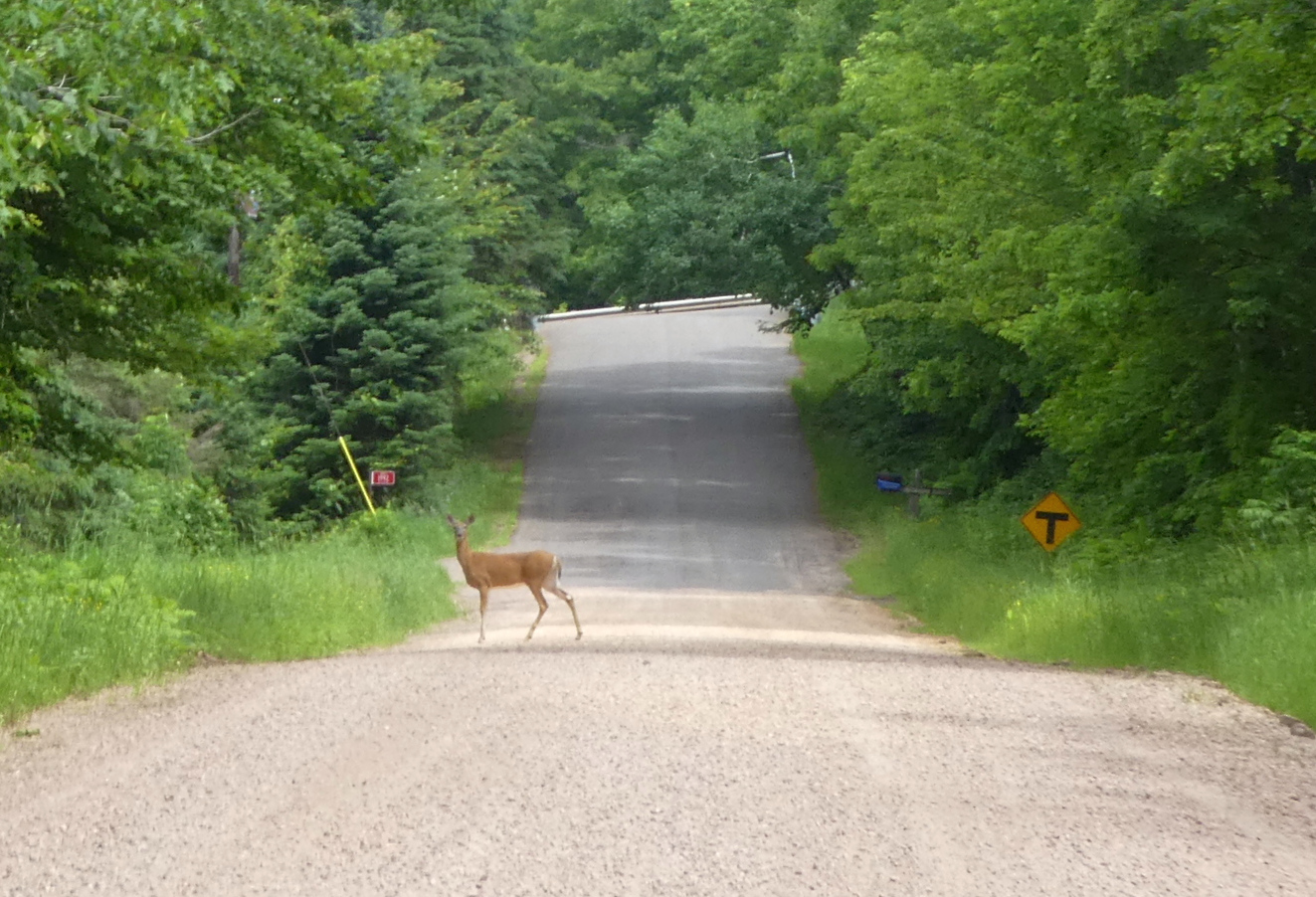 One of the many deer crossing