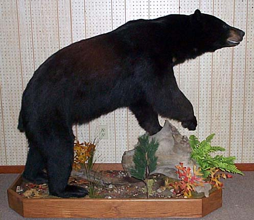 Black Bear Mounts